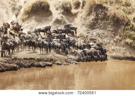 Masai Mara Wildebeast