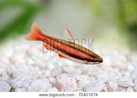 Coral Red Arc Pencilfish Nannostomus mortenthaleri Pencil fish