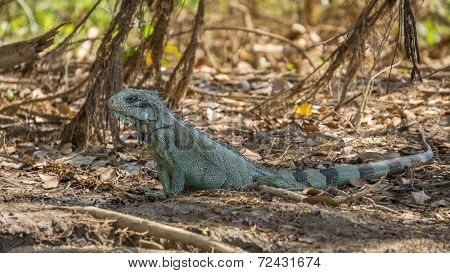 Iguana in riverbank of Brazilian Pantanal