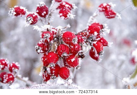 Frozen Rose Hips