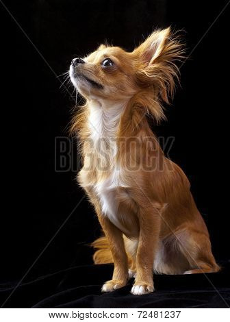 Tan with white chihuahua dog sitting on black background looking up poster