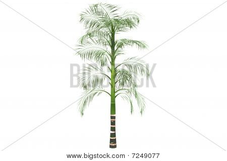 Betel Palm Isolated On White With Clipping Path