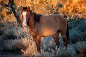 A wild horse pauses from grazing along the Salt River in Arizona. poster