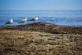 Three white seagull standing on the shore of the Black Sea poster