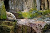 Photo of polar bear sleeping in a cave poster