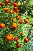 Marigold orange flowers growing in a garden poster
