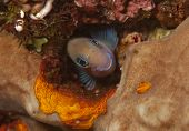 Bicolor blenny in hole in coral reef poster