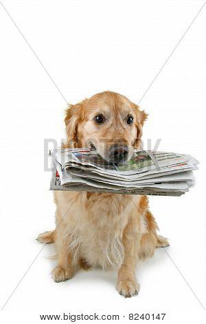 golden retriever holding newspaper on white background poster