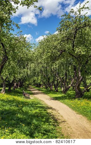 Alley With Apple Trees