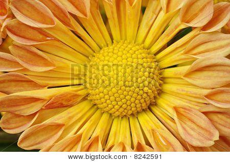 Detail of Chrysanthemum