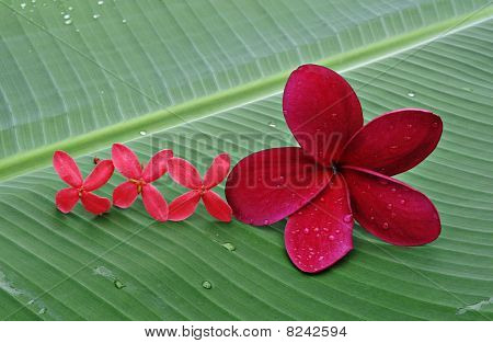 Red Plumeria and needle flowers