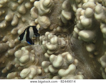 Humbug damsel fish on white soft coral in Mauritius