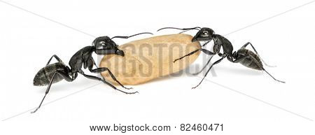 Two Carpenter ants, Camponotus vagus, carrying an egg poster