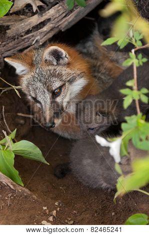 Grey Fox (urocyon Cinereoargenteus) Vixen And Kits In Den From Above