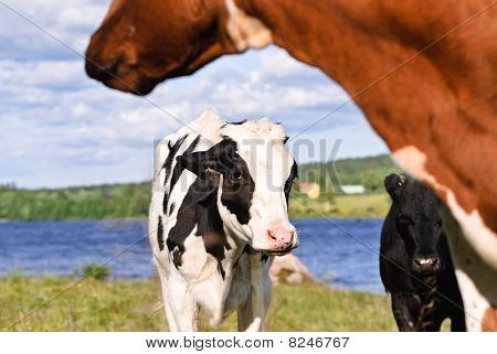 Swedish cattle