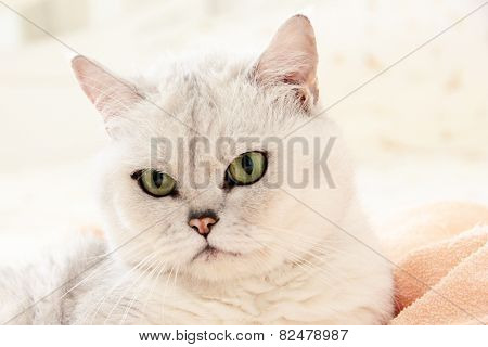 grey cat