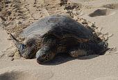 Sea Turtle, On Papailoa Beach in Oahu, Hawaii poster