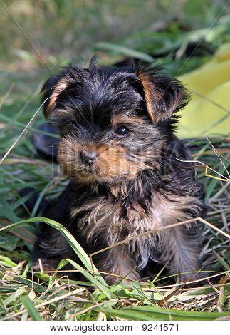 Portrait of  Yorkshire Terrier baby in the garden poster