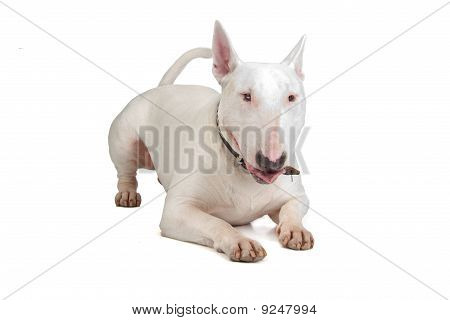 English Bull Terrier, Bully, Gladiator