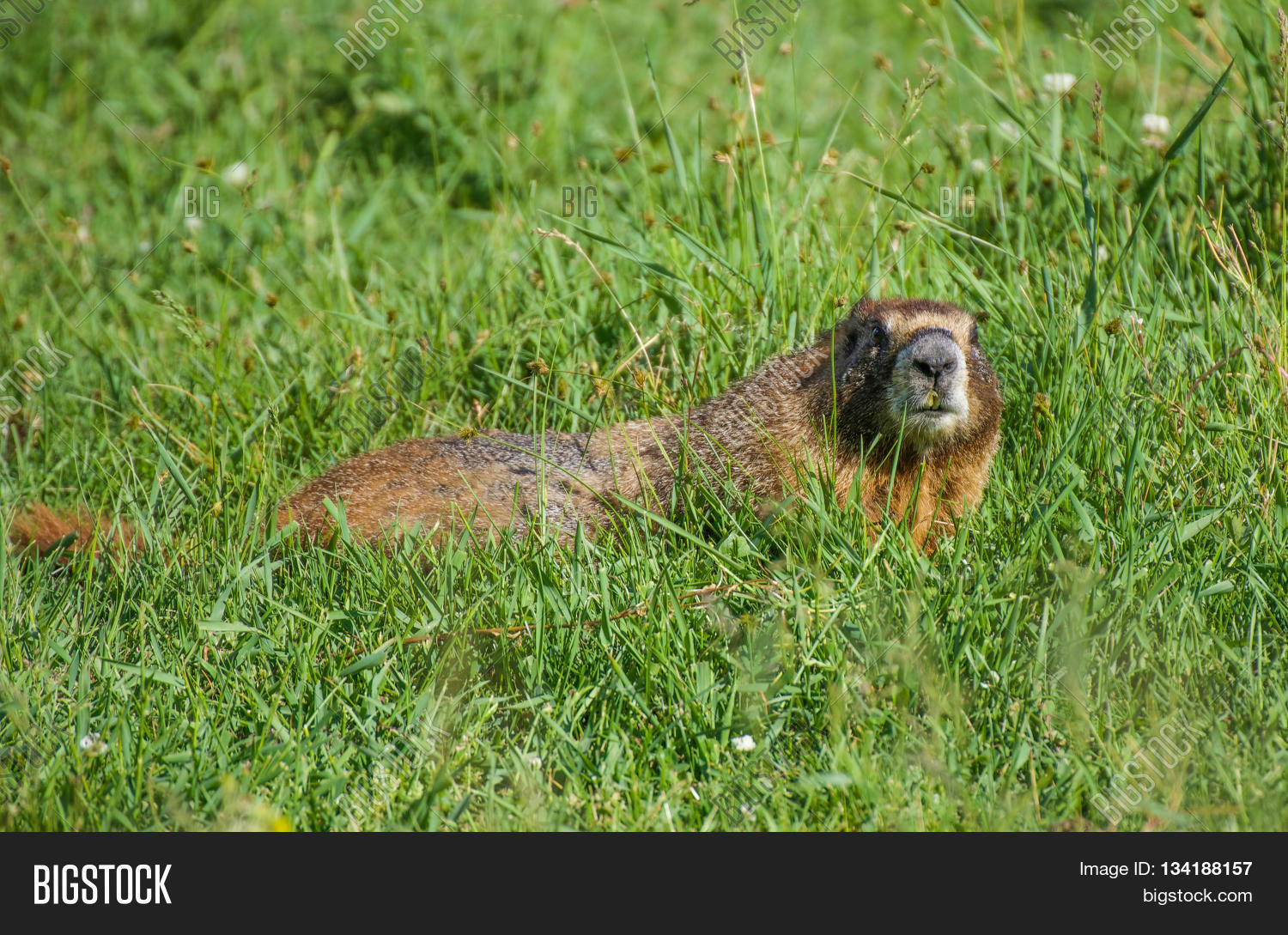 Yellow bellied marmot grazing in a meadow