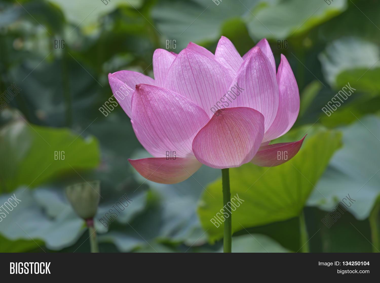 Sacred Lotus Nelumbo Image Photo Free Trial Bigstock