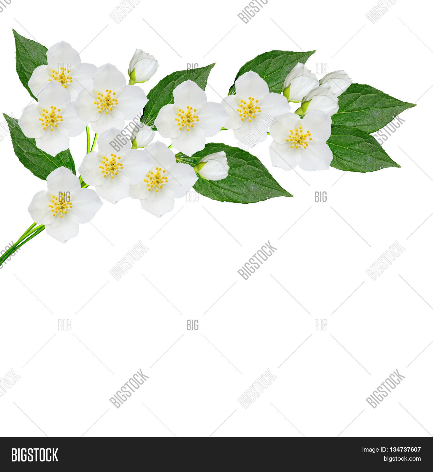 White jasmine flower image photo free trial bigstock white jasmine flower branch of jasmine flowers isolated on white background spring flowers izmirmasajfo