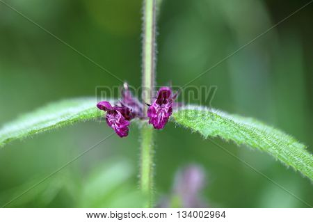 Macro photo of a hedge woundwort (Stachys sylvatica)