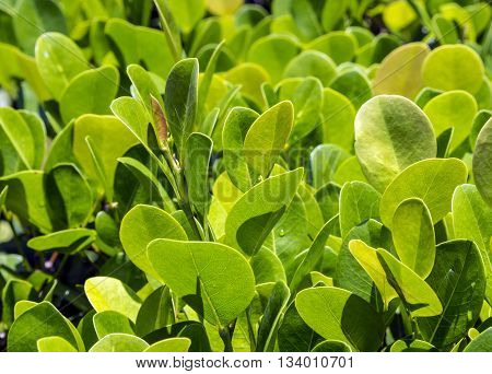 Close Up Of Green Privet Hedge Twigs With Leafs.