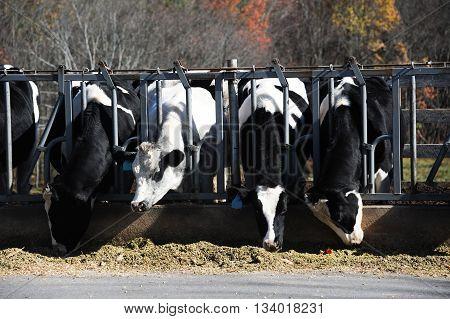 close up on cows at barn stall