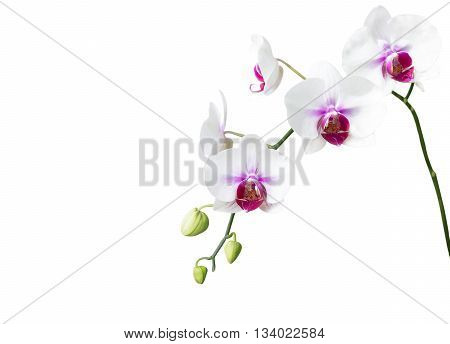The White orchid flower on white background