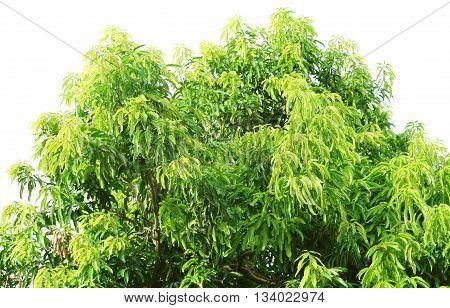 Green Leaves. Mango Tree (mangifera Indica)