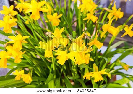 Yellow daffodils in the outdoor spring garden