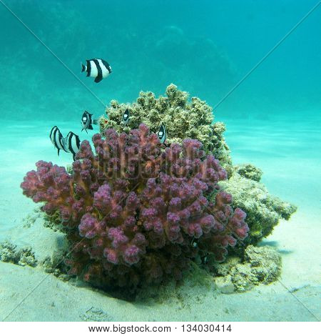 coral reef with exotic fishes dascyllus at the bottom of tropical sea underwater