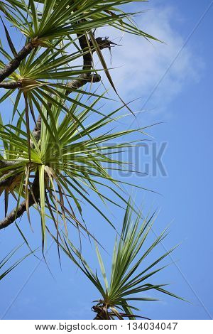 Pandanus tree with bright blue sky background