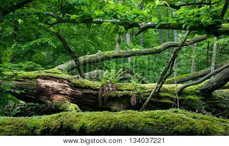 Fresh deciduous stand of Bialowieza Forest in springtime with dead broken oak in foreground moss and herb wrapped,Bialowieza Forest,Poland,Europe