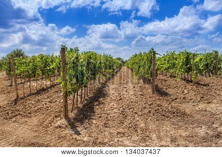 Long rows of a vineyard in Tuscany Italy. Sunny bright summer day blue sky with white clouds.