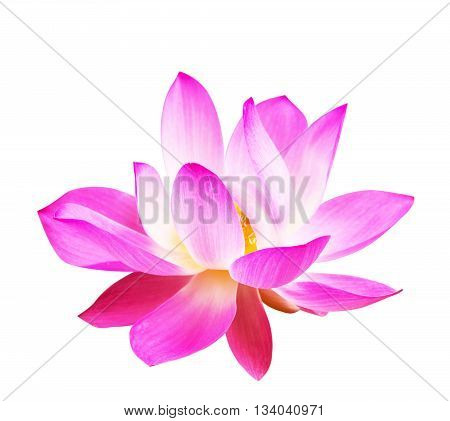 Beautiful pink lotus on a white backgrounds.