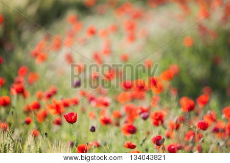 Color shot of a field of poppy flowers.