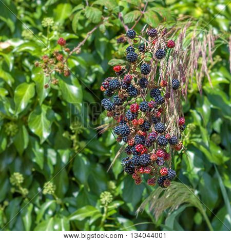 The bush ripe blue-red blackberry on a background of green leaves. Orchard.