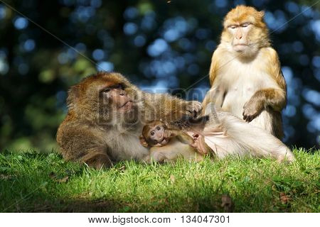 A common haplorhine monkey couple with their offspring