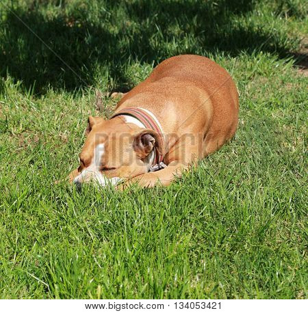 Picture of a lazy amstaff dog on a green grass