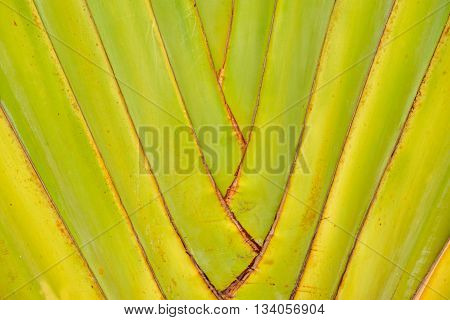 Close-up detail of the trunk of a Traveler's Palm (Ravenala Madagascariensis). Abstract nature backgrounds. poster
