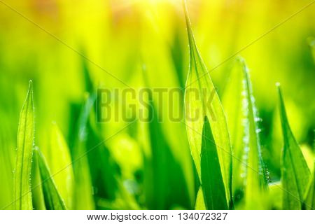 Fresh green grass field, abstract natural background, floral wallpaper, summer time greenery, nature in the morning