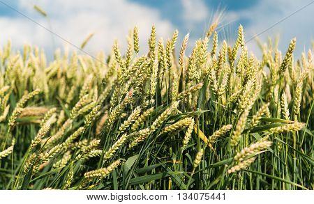 season, sky wheat field before the rain