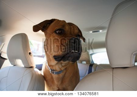Interested red dog driving in back end of a car
