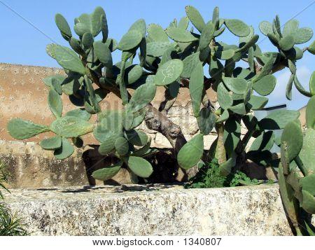 Castle Cactus Santa Barbara