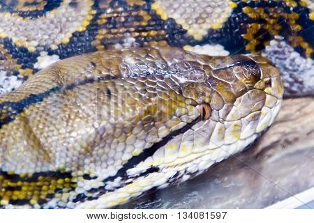 Photo of reticulated python head close up in zoo