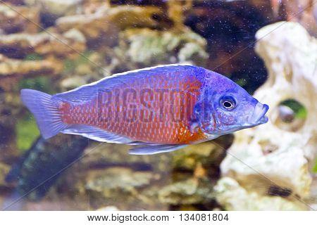 Photo of fish copadichromis kadango in aquarium