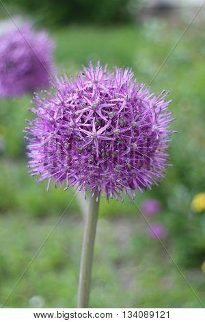 giant purple alium onion flower close to