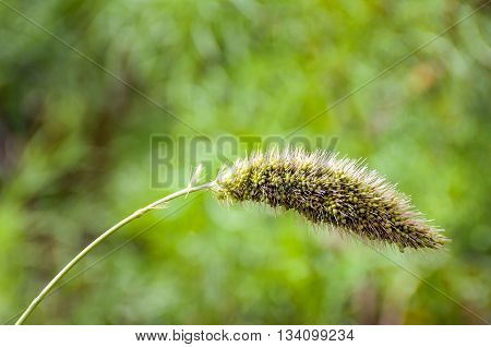 Curved stem of a hairy ripening head of a millet plant heavy from the weight. The millet plant is sown in an animal friendly field edge with wild plants for the benefit of biodiversity.
